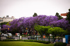 Buenos Aires Street. With purple trees Stock Photography