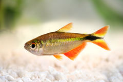 Free Buenos Aires Tetra Hyphessobrycon Anisitsi Tropical Aquarium Fish Royalty Free Stock Photos - 71416338