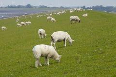 Buesum - dike med sheeps Arkivbild