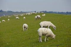 Buesum - dike med sheeps Royaltyfri Bild