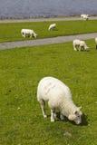 Buesum - dike med sheeps Arkivbilder
