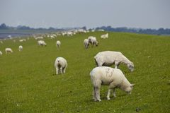 Buesum - Dike with sheeps Royalty Free Stock Image