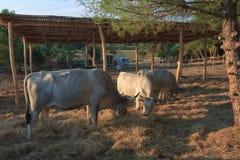 Buey de Istrian, raza protegida del ganado en Croacia Imagen de archivo