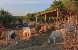Buey de Istrian, raza protegida del ganado en Croacia Fotografía de archivo
