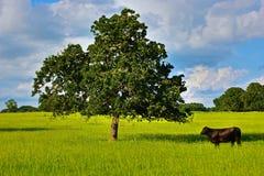 Buey y roble solitarios en Texas Ranch Land Fotografía de archivo libre de regalías