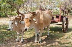 Bueyes en granja cubana Fotos de archivo