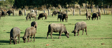 Bufale-Bauernhof Lizenzfreie Stockfotografie