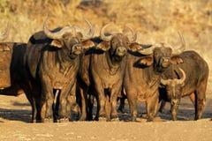 Bufali africani Immagini Stock