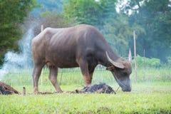 bufali: animali, mammiferi, animali domestici, perché gli agricoltori alimentano il bestiame As Immagini Stock Libere da Diritti