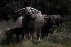 Bufali asiatici Immagine Stock Libera da Diritti
