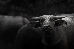 Bufali asiatici Immagini Stock Libere da Diritti