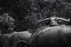 Bufali asiatici Fotografia Stock