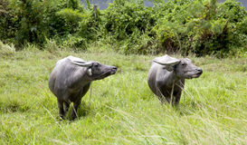 Bufali d'acqua Fotografia Stock
