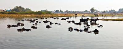 Bufali d'acqua fotografie stock