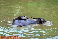 Bufali d'acqua Immagini Stock Libere da Diritti