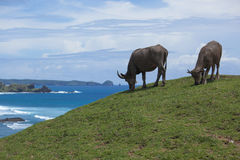 Bufali d'acqua indonesiani Fotografie Stock