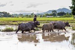 Bufali d'acqua tailandesi Fotografie Stock Libere da Diritti