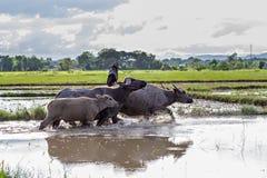 Bufali d'acqua tailandesi Fotografia Stock