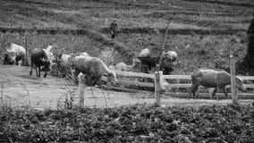 Bufali del gregge dell'agricoltore alla penna di bestiame Fotografie Stock Libere da Diritti