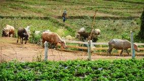 Bufali del gregge dell'agricoltore alla penna di bestiame Fotografia Stock Libera da Diritti