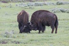 Bufali del toro di combattimento del gioco Fotografia Stock Libera da Diritti