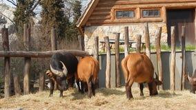 Bufali della foresta stock footage