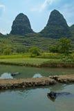 Bufali di acqua fotografia stock libera da diritti