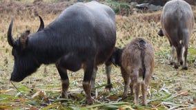 Bufali fangosi madre e bambino nei campi di grano raccolti nella pioggia dei giorni, campagna cinese tipica, vita idilliaca archivi video