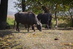 Bufali indiani in foresta vicino al lago in Serbia immagine stock