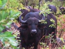 Bufallo africano que olha a câmera imagem de stock