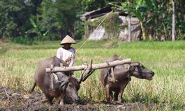 Bufallo. A farmer plowing his field with the use of buffalo in Klaten, Central Java, Indonesia Royalty Free Stock Image