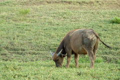 Bufallo grazing on farmland. Royalty Free Stock Photography