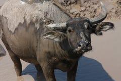 bufalo Immagini Stock