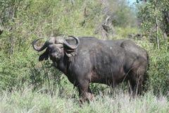 Bufalo africano Immagini Stock Libere da Diritti