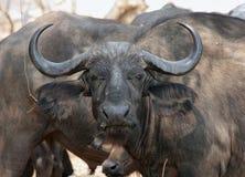 Bufalo africano Fotografie Stock