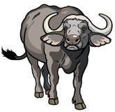 Bufalo africano del capo Immagini Stock