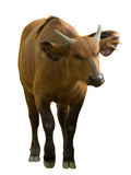 Bufalo africano della foresta Immagini Stock Libere da Diritti