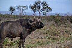 Bufalo africano maschio Fotografia Stock