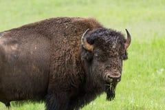Bufalo americano fotografie stock libere da diritti