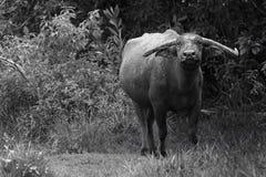 Bufalo asiatico Immagine Stock