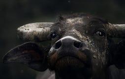 Bufalo asiatico Immagini Stock