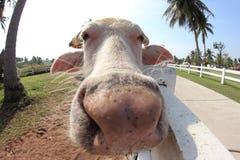 Bufalo bianco Immagine Stock