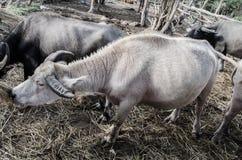 Bufalo bianco immagine stock libera da diritti