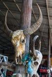 Bufalo capo del cranio Fotografia Stock