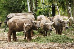bufalo che mangia erba verde, Tailandia Fotografie Stock