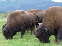 bufalo che pasce gregge Fotografie Stock