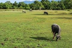 bufalo che vive nel prato Immagine Stock