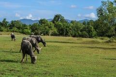 bufalo che vive nel prato Fotografie Stock Libere da Diritti