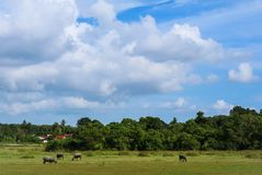bufalo che vive nel prato Fotografia Stock Libera da Diritti
