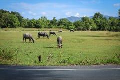 bufalo che vive nel prato Fotografia Stock